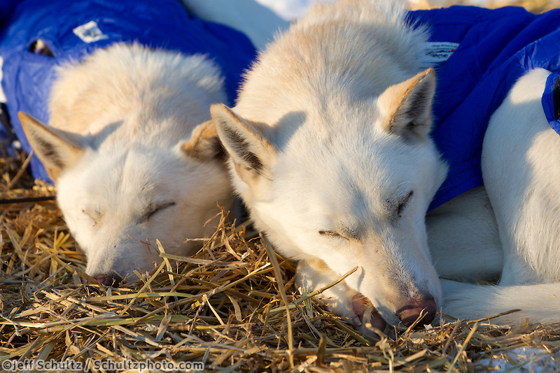 Justin Savidis dogs Jesse and Frank nap at the Takotna checkpoint during his 24 hour layover in Iditarod 2011