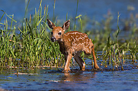 White-tailed fawn walking through the water in nor