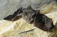 Kleine Hufeisennase, Kleinhufeisennase, Fledermaus, Rhinolophus hipposideros, lesser horseshoe bat