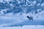 Rocky Mountain Elk (Cervus elaphus nelsoni) female crossing river in winter, Gardner River, Yellowstone National Park, Montana