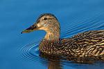 Close up of a hen mallard swimming in a northern Wisconsin lake.