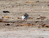 Male collared plover, front view