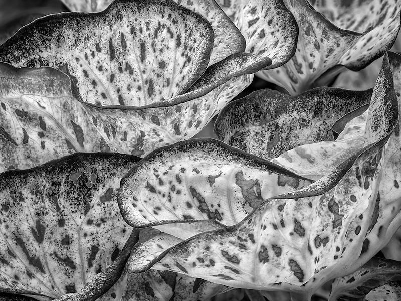 Close up of caladium leaves.
