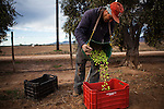 FRANCISCO ZARCO, BAJA CALIFORNIA - NOVEMBER 27, 2013:  Jose Rivera picks olives the other main crop in Baja's wine region of Valle de Guadalupe. Residents and wineries in Mexico's wine country are protesting the mayor's relaxing of zoning regulations they say will lead to a drastic change in the culture of  the popular tourist destination. CREDIT: Max Whittaker for The New York Times