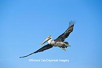 00672-00607 Brown Pelican (Pelecanus occidentalis)  in flight South Padre Island TX
