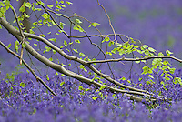 Beech tree Fagus sylvatica branch and bluebells Hyacinthoides non-scripta carpet in Hallerbos forest, Belgium