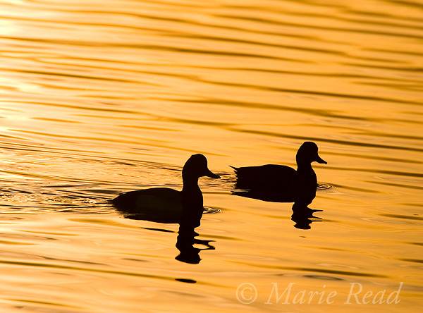 Lesser Scaup (Aythya affinis), two in silhouette at sunrise, Bolsa Chica Ecologial Reserve, California, USA