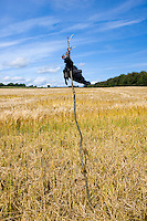 Dead crow on post to deter other birds from barley crop near Temple Guiting in The Cotswolds, Gloucestershire, UK