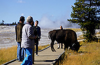 tourists and a bison in Yellowstone national Park, Wyoming, USA