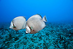 A pair of Grey Angelfish, Pomacanthus arcuatus, swims over a South Florida coral reef.