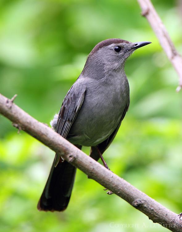 Gray catbird at Paradise Pond