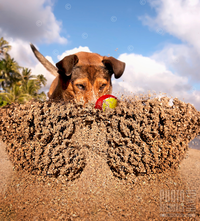 Poi dog Isabella brings up a spray of sand as she chases down her ball at a beach on O'ahu.