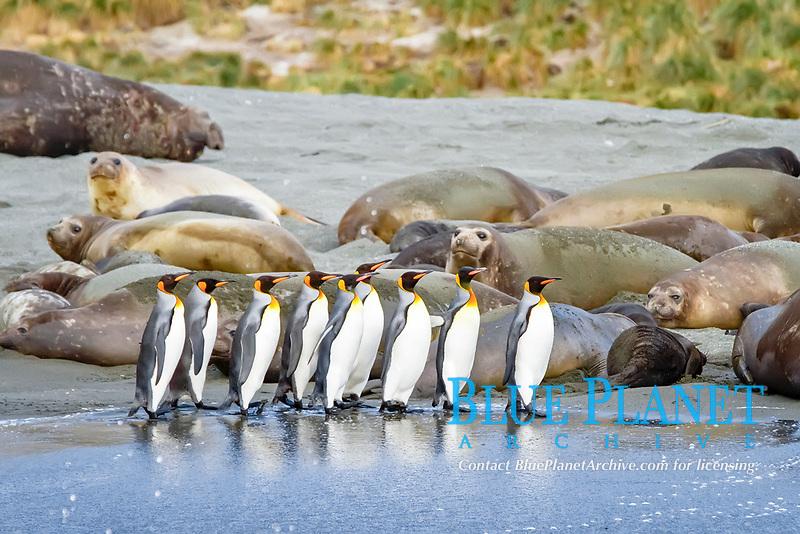 king penguin, Aptenodytes patagonicus, walking on the beach among southern elephant seal, Mirounga leonina, South Georgia, Atlantic Ocean