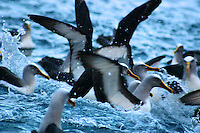 Flock of Buller's Albatrosses on the Tasman Peninsula, Tasmania
