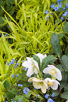 Blue & gold spring garden scene with white hellebore flowers, blue Brunnera, yellow hakon grass Hakonechloa