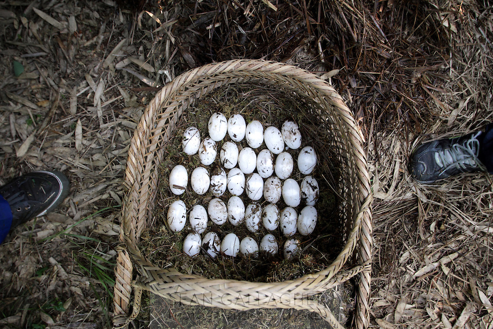 Chinese Alligator eggs (Alligator sinensis),  Anhui Research Center for Alligator Reproduction. Only 120 individuals remain in the wild in China as a result of wetlands reclamation. Xuancheng City, Anhui Province. China. 2010