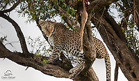 Female Leopard (Panthera pardus) with an Impala kill high in a tree overlooking the Masai Mara, Kenya.