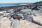 marine iguanas along the shore on the Southeastern Island of Espanola in the Galapgos National Park, in Ecuador, South America which is home to sea lions, marine iguanas, blue footed boobies, and Nazca Boobies plus many different species of animals and birds.