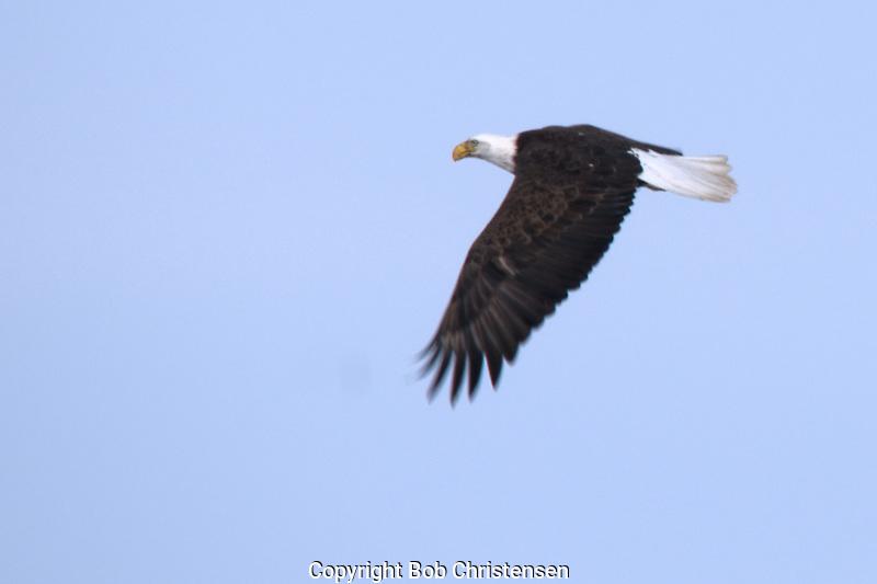 Photos of Wildlife - Eagles