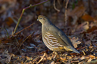 California Quail  (Callipepla californica) female.  Pacific Northwest.