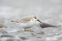Sanderling (Calidris alba) in basic (winter) plumage. Jefferson County, Washington. January.