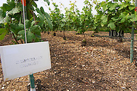 Experiment with chemical weed killer with a sign saying that the soil has been treated with herbicides (desherbement chimique) and there is no grass growing A sign indicating that it is the clone 1034 that is planted at the experimental vineyard of the CIVC at Plumecoq near Chouilly in the Cote des Blancs It is used for testing clones soil treatment vine treatments spraying, Champagne, Marne, Ardennes, France