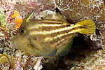 Cantherhines pullus, Orange-spotted filefish, Florida Keys