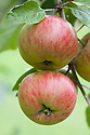 Apple 'Wealthy', mid September. An American dessert apple raised in the 1860s by Peter Gideon on his farm in Minnesota. Brought to the UK at the end of the 19th century.