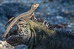 Espinosa Point, Fernandina Island, Galapagos Islands, Ecuador, Galápagos lava lizard (Microlophus albemarlensis), marine iguana (Amblyrhynchus cristatus)