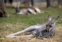 NWA Democrat-Gazette/JASON IVESTER<br /> Kangaroos relax in the sunlight Wednesday, March 15, 2017, at the Wild Wilderness Drive Through Safari in Gentry.