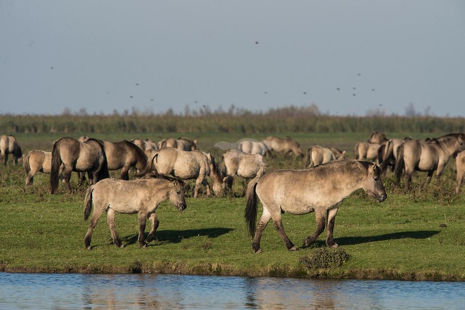 Konik (Equus caballus), kudde in de Oostvaardersplassen