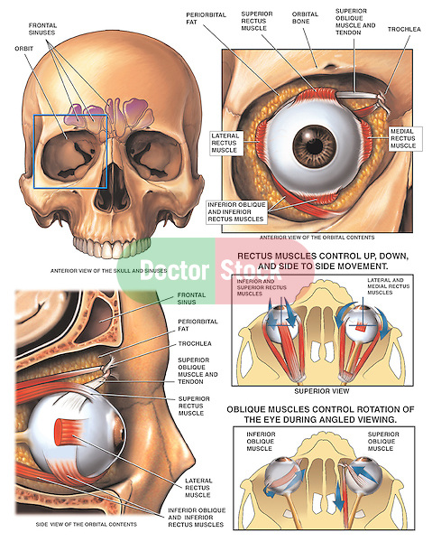 This medical illustration series depicts the anatomy and function of the eye in situ within the bony orbit. Labeled structures include the superior, inferior, lateral and medial rectus muscles which control the up, down and side-to-side movements of they eyeball. Also labeled are the superior and inferior oblique muscles, which control the rotation of the eye during angled viewing.