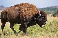 Bull Bison (Bison bison) at Theodore Roosevelt National Park, North Dakota.  Summer.