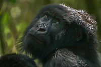 Mountain Gorilla (beringei beringei),Rwanda, Volcanoes National Park, Rwanda.