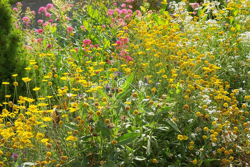 corn marigold or corn daisy, Glebionis segetum (syn. Chrysanthemum segetum) in a garden // chrysanthèmes des moissons, Glebionis segetum et Centranthus ruber dans un jardin