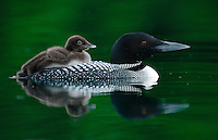 A common loon carries a young loon chick on its back to the protect the offspring from potential avian and aquatic predators.