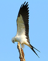 Juvenile swallow-tailed kite stretches its wings