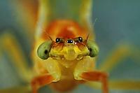 Gelbe Eintagsfliege, Potamanthus luteus, Yellow mayfly
