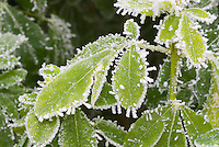 Choisya ternata in winter snow ice on leaves . Rime on edges