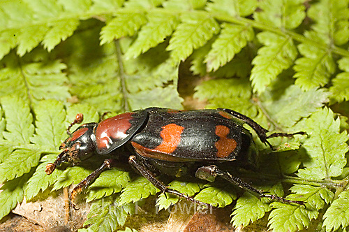 Giant carrion beetle  Nicophorus americanus
