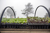 USA, California, Big Sur, Esalen, starter seedlings grow in the Buddha garden and are ready to be planted at the Farm