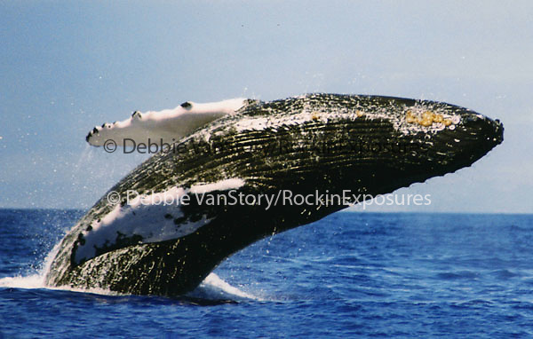 The Humpback Whale breaches off the Maui Coastline in the AuAu Channel on March 28,1997.Sequence photos 4 of 6.© Debbie VanStory/RockinExposures.