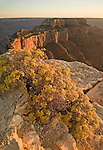Golden Rabbit Brush (Chrysothamnus nauseosus) frames Wotan's Throne as the sun sets at Cape Royal, Grand Canyon National Park, Arizona