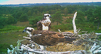 BNPS.co.uk (01202 558833)<br /> Pic: BirdsofPooleHarbour/BNPS<br /> <br /> With Video: https://we.tl/t-Gl5VHkYzQA <br /> <br /> Pictured: Osprey chick LS7 (left) in the programme and his new girlfriend CJ7 bonding at Poole Harbour in Southern England.<br /> <br /> Attempts to get ospreys to recolonise southern England for the first time in 200 years have been boosted after a chick involved in a conservation programme was spotted in Gambia.<br /> <br /> Experts hope the bird of prey which became extinct in large swathes of western Europe at the beginning of the 19th century will once again establish a population at Poole Harbour in Dorset.<br /> <br /> To achieve this, for the past three years they have gradually reintroduced osprey chicks there and monitored their progress.<br /> <br /> Now, one of the chicks in the programme has been spotted in the West African country having successfully completed the perilous 4,000 mile