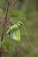 Zwitscherschrecke, Zwitscher-Heupferd, Heupferd, frisch gehäutet an Brennnessel, Tettigonia cantans, twitching green bushcricket