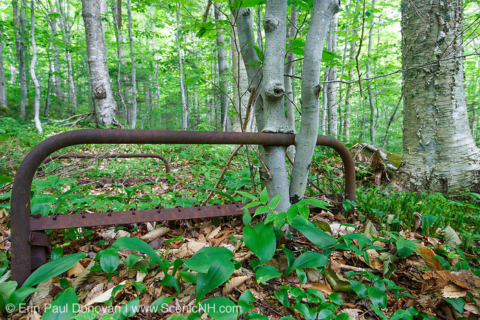 Beech trees growing around a rusted bed frame near Mount Blue in Kinsman Notch of the White Mountains, New Hampshire. This bed frame is possibly from an old logging camp of the Gordon Pond Railroad, which was a logging railroad in operation from 1907 - 1916 (+/-).