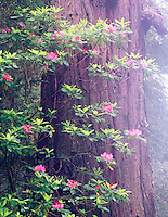 V00399M.tiff   Rhododendron in bloom with fog and redwood tree. Redwood National Park, California