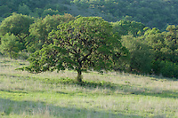 160450001 wild escarpment or plateau live oaks quercus fusiformis on a private ranch in the texas hill country of central texas