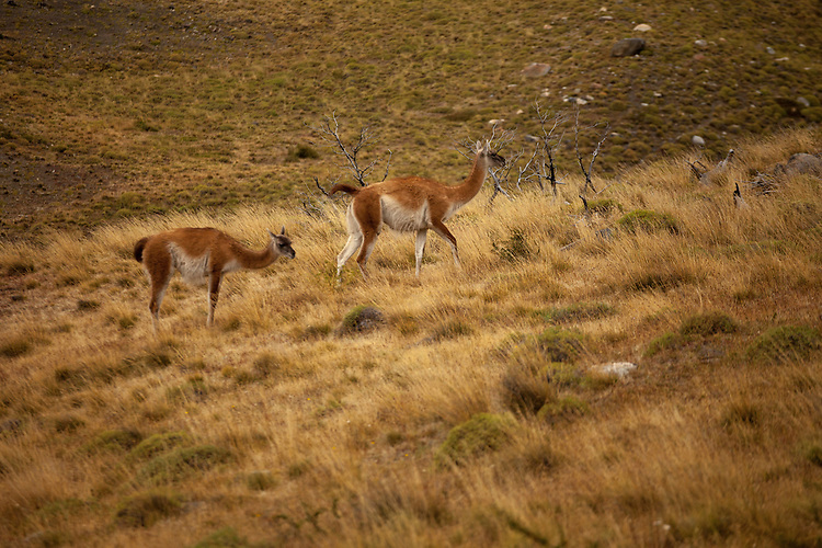 Herds of Guanacos graze in the high country slopes of Torres del Paine NP