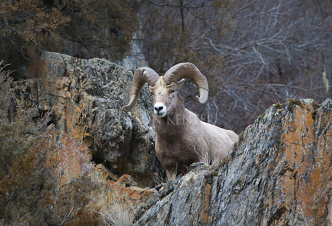 Bighorn Sheep ram on rocky cliff side in Montana